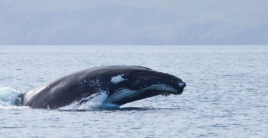 La época para ver ballenas en Islandia